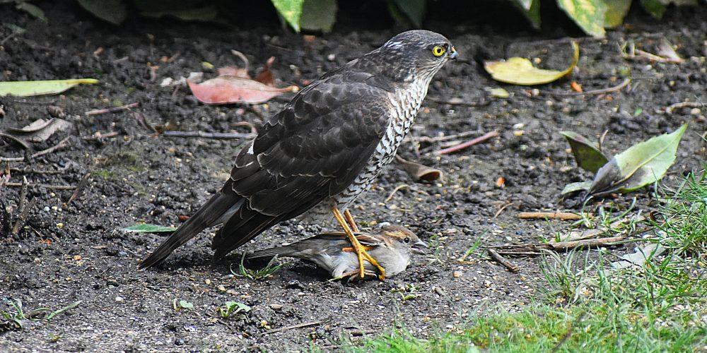 Sparrowhawk-01